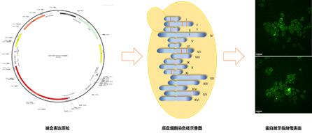 天津大学实验室宣布已研发出新冠病毒口服疫苗
