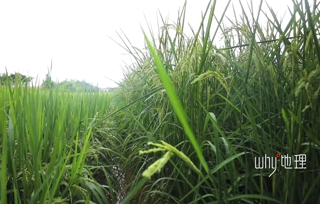 袁隆平梦想成实:2米高巨型稻在重庆试种胜利